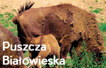 Zdjęcie Spotkanie: Puszcza Białowieska -Królestwo leśnego żubra